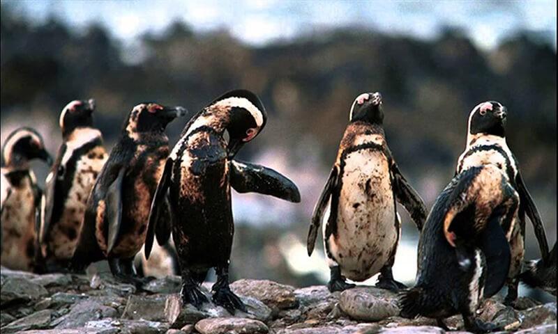Hình ảnh chim cánh cụt bị ảnh hưởng bởi ô nhiềm nước